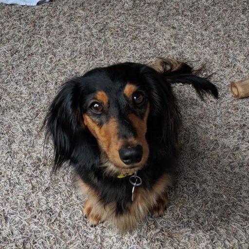 Bandit the Dachshund Puppy