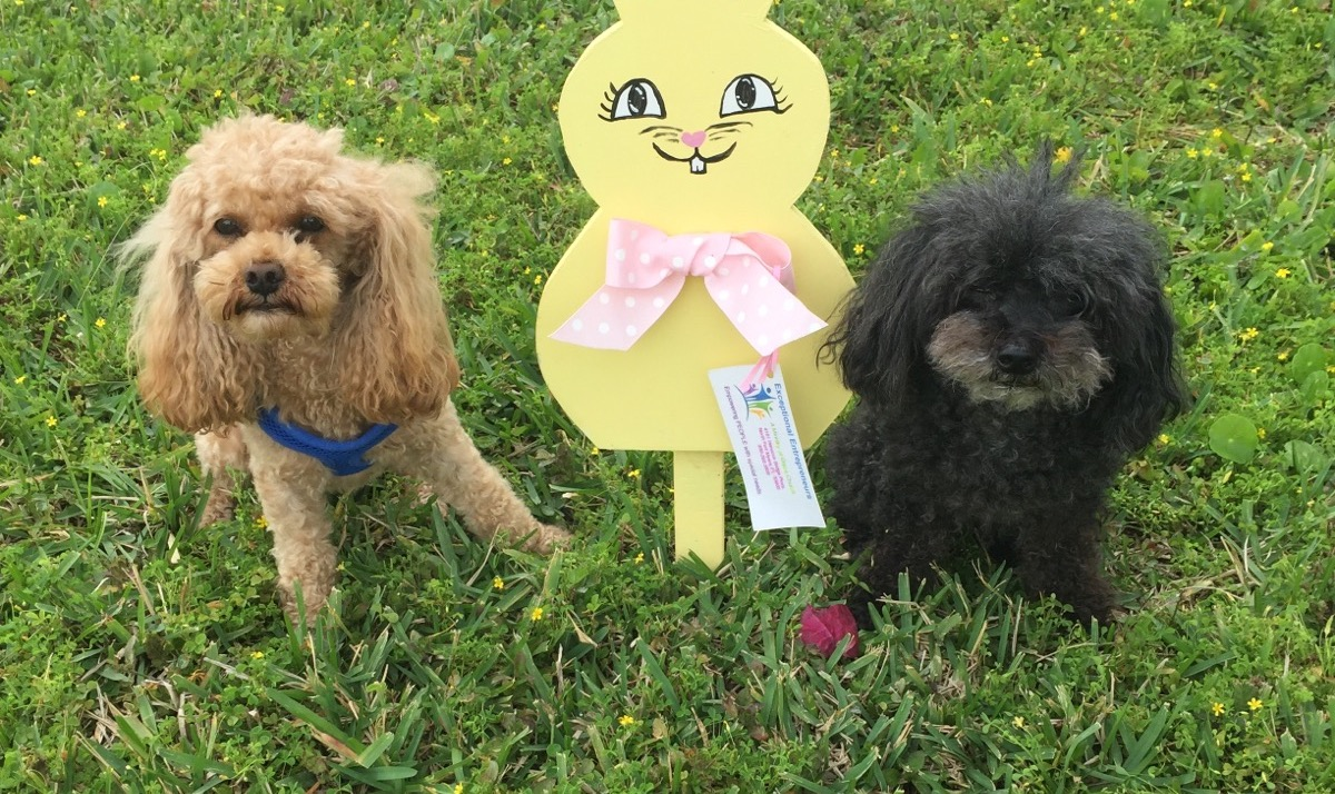 Dusty and Pepe the Miniature Poodles